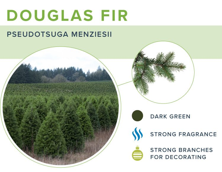 types of christmas trees douglas fir