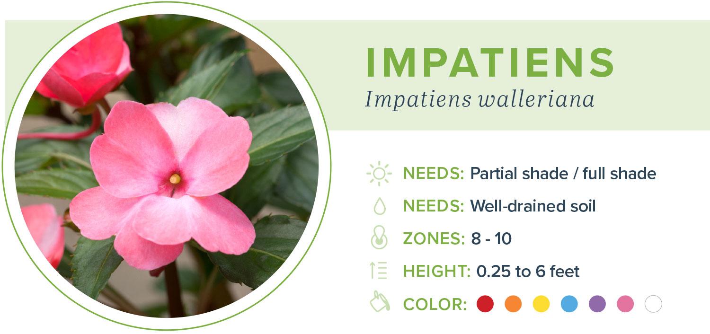 annual flowers impatiens information