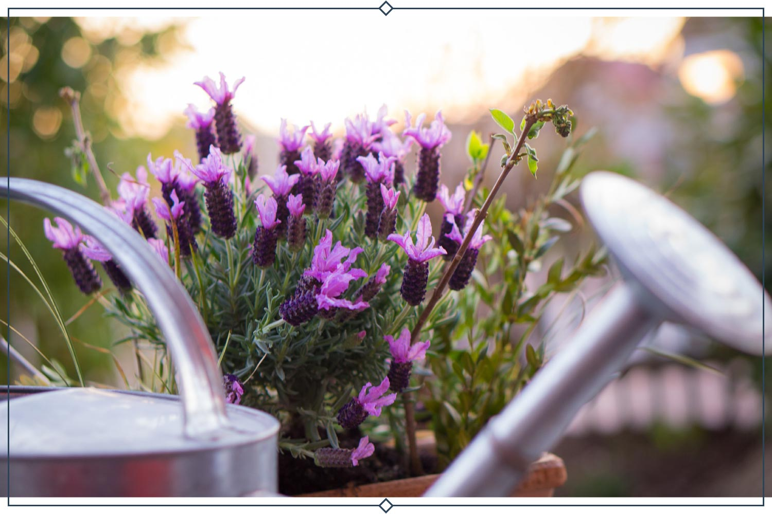 types of lavender in a pot