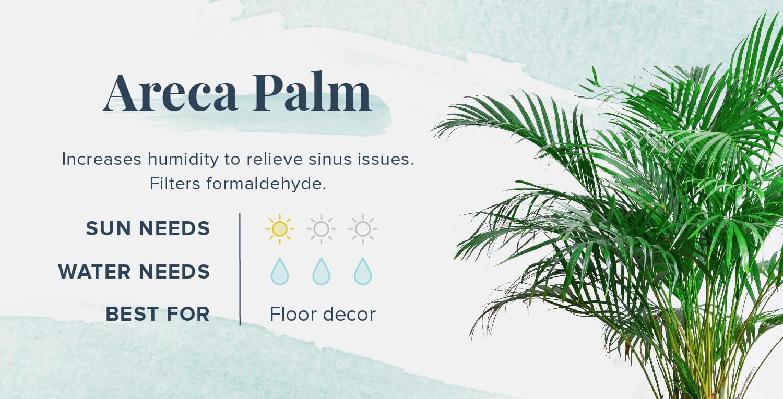 areca palm plants that help you sleep