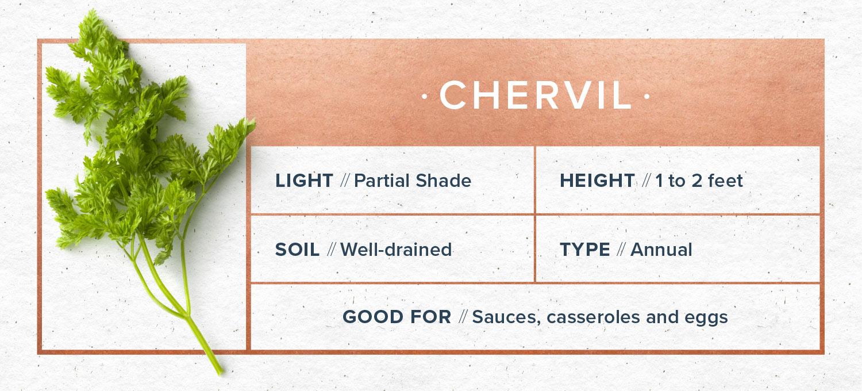 chervil indoor herb garden