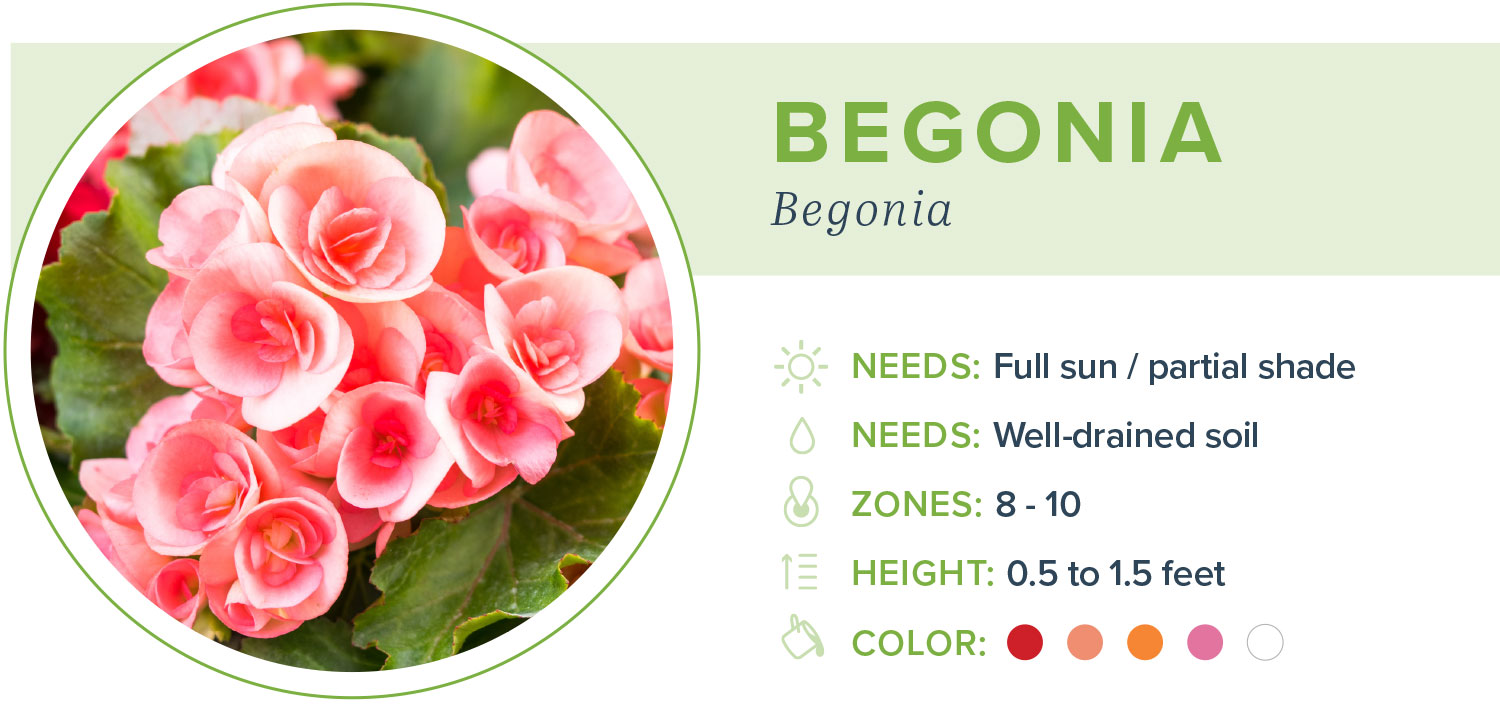 annual flowers begonia information