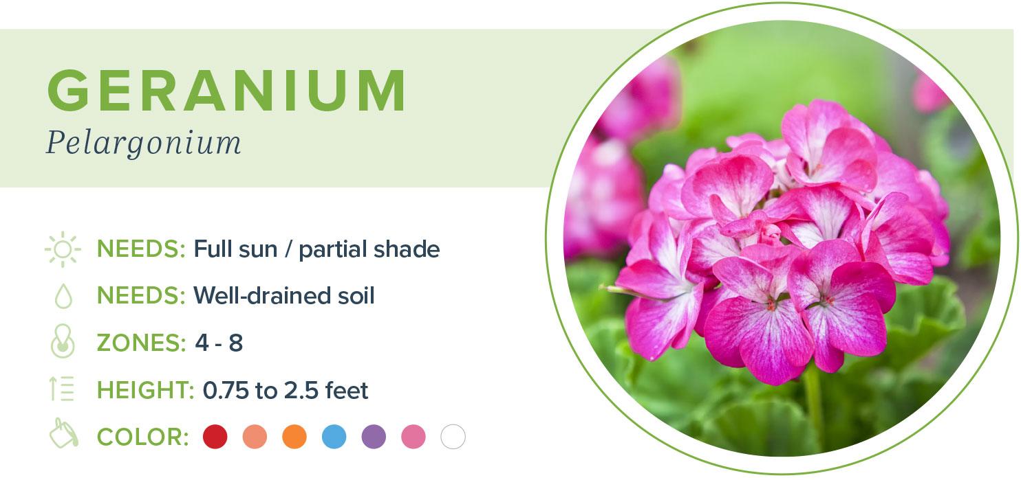 annual flowers geranium information
