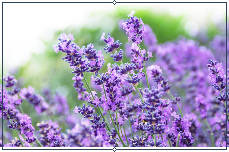 bettys blue lavender type