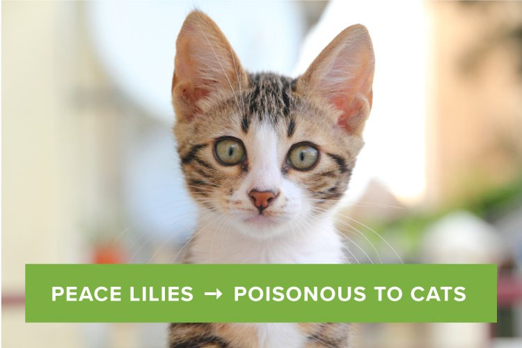 are peace lilies poisonous to cats