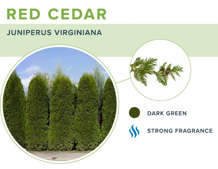 types of christmas trees red cedar