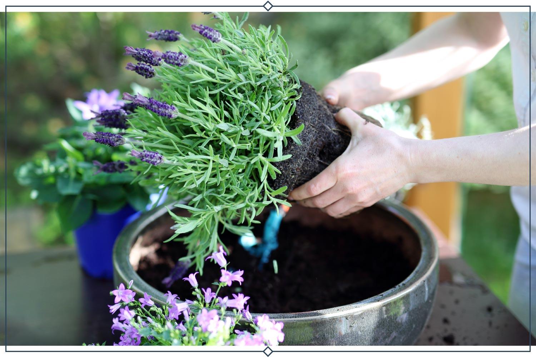 planting types of lavender