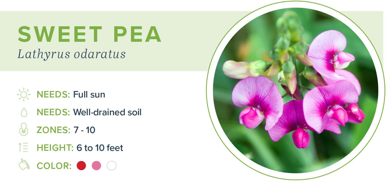 annual flowers sweet pea