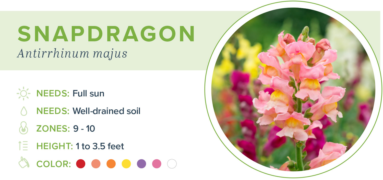 annual flowers snapdragon information