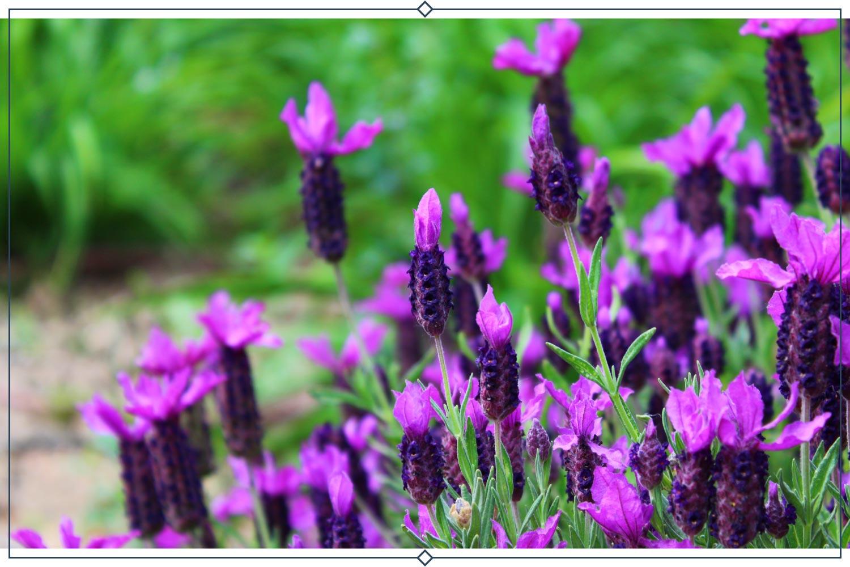 portuguese lavender type