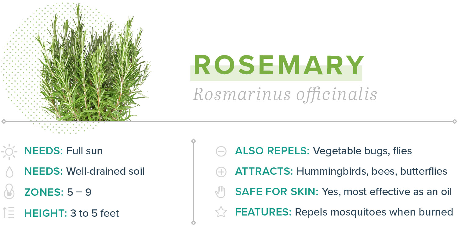rosemary plants that repel mosquitoes
