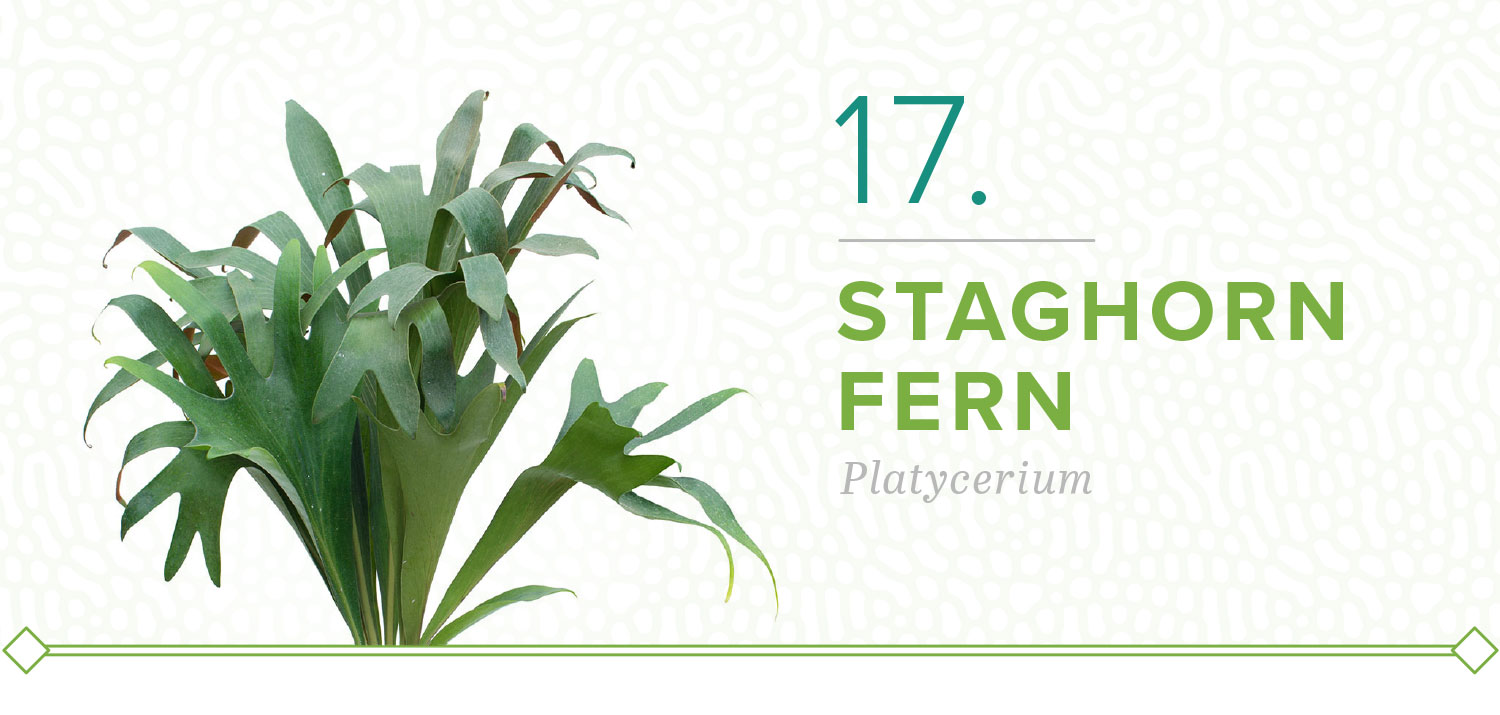 staghorn fern plants that don't need sun