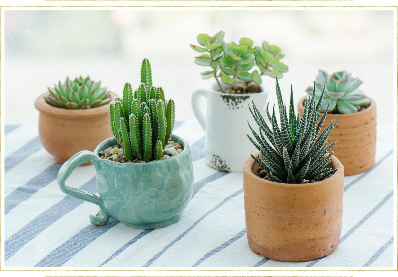 succulents in small terra cotta pots