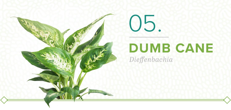 dumb cane plants that don't need sun