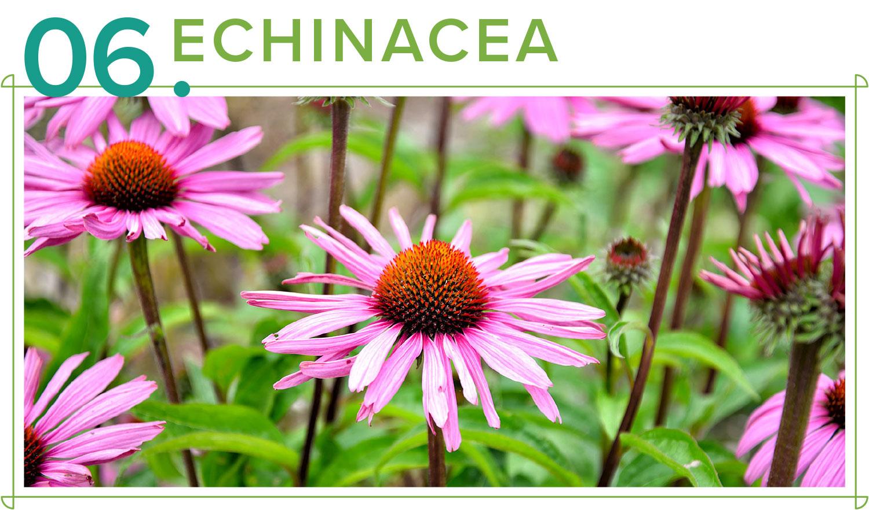 echinacea medicinal plants