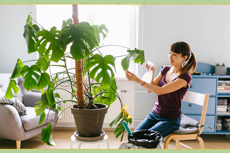 dusting monstera plant