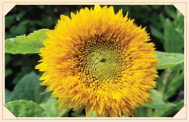yellow teddy bear sunflower
