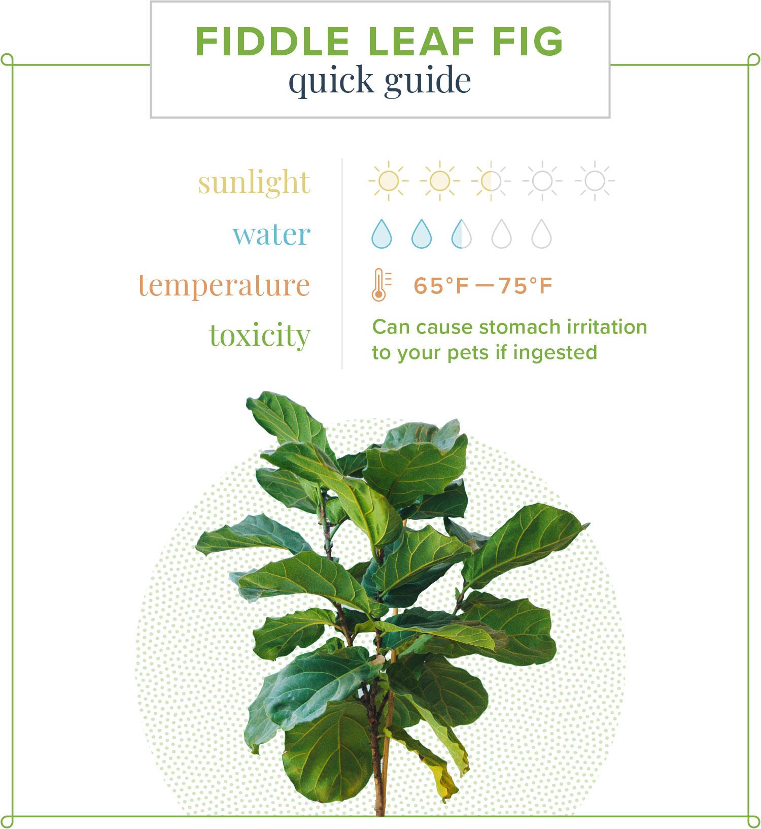 fiddle leaf fig quick care guide card