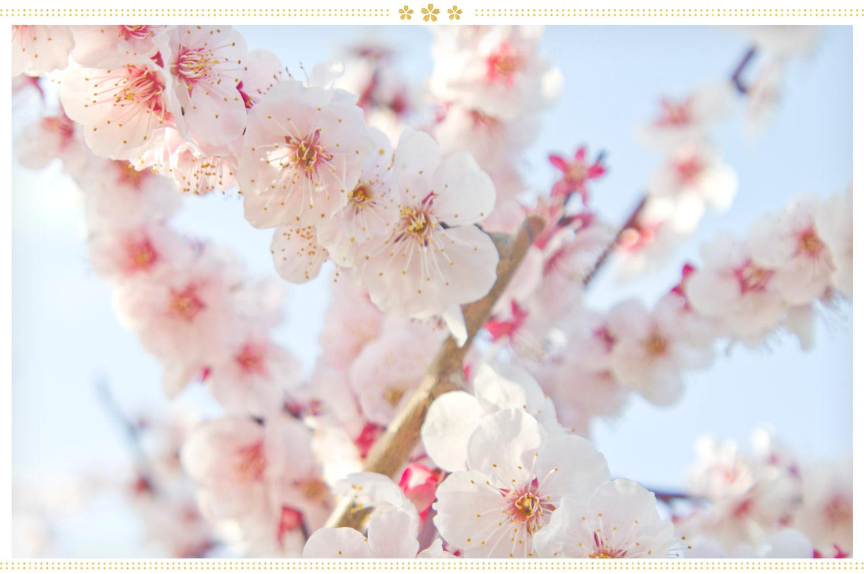japanese flowers ume