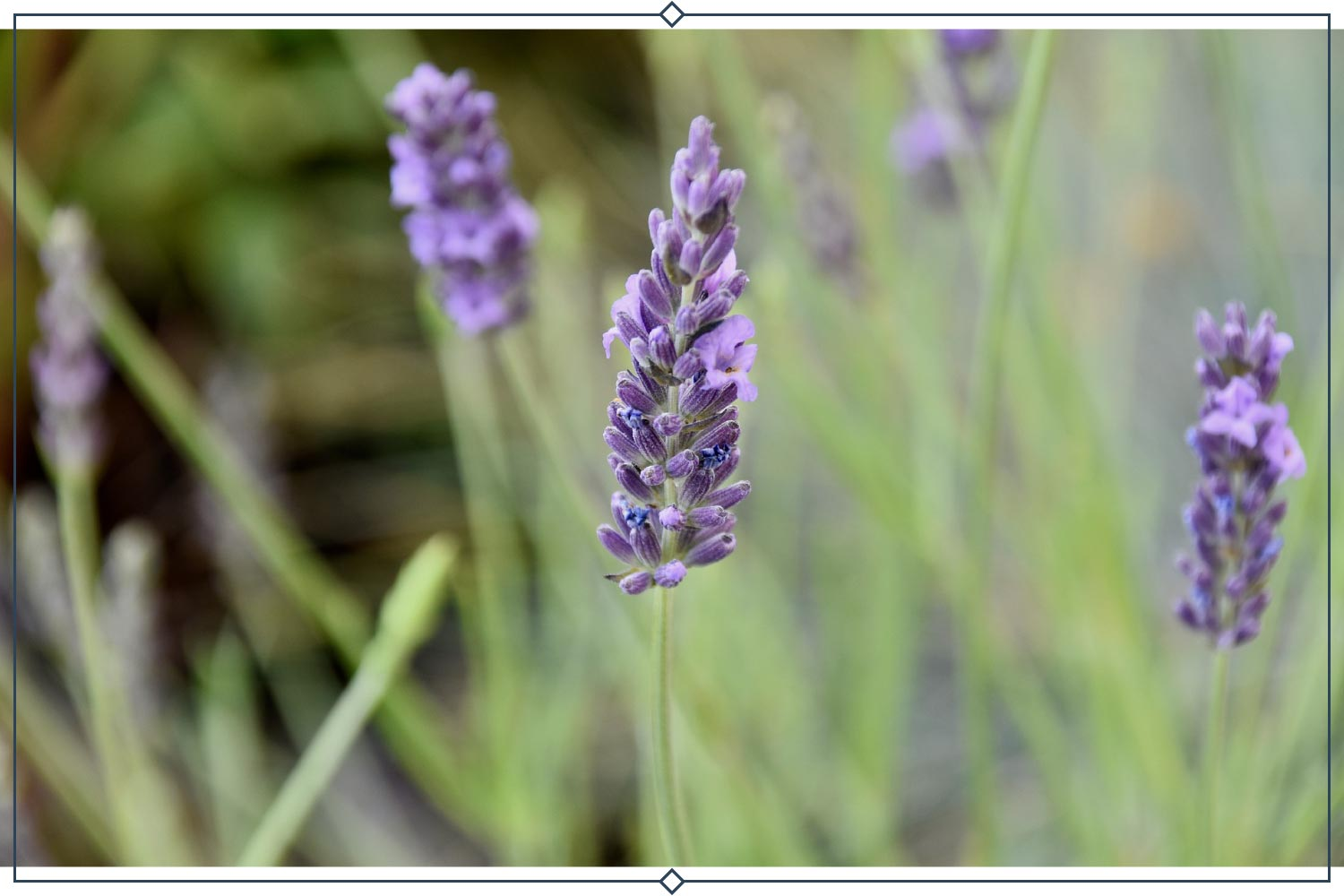 grosso lavender type