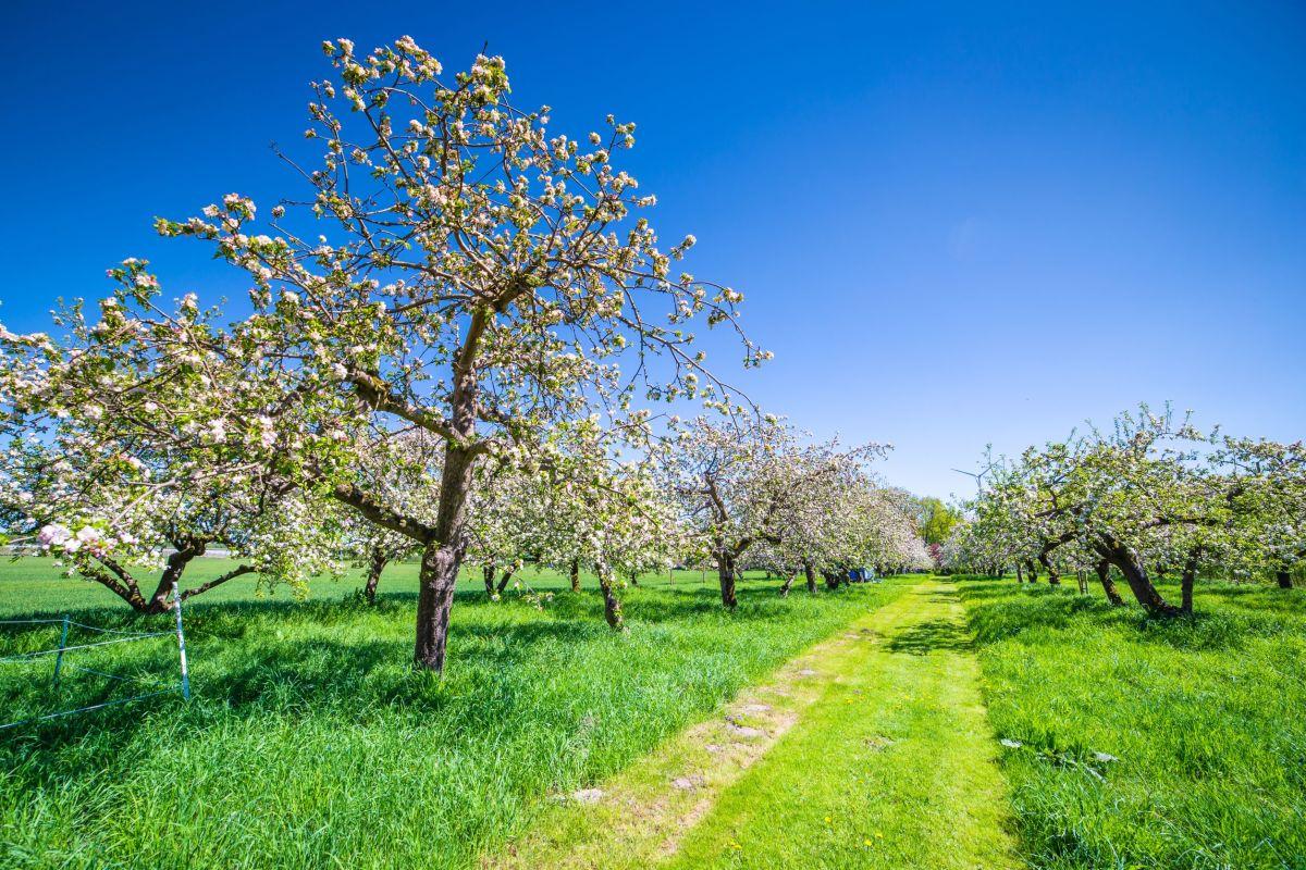 Hamburg Finkenwerder Apfelplantage, Quelle: shutterstock