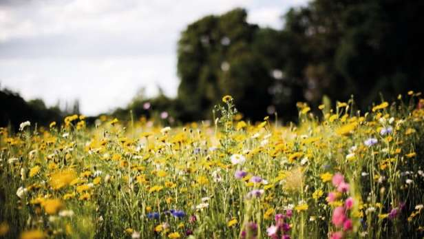Field of wild flowers.