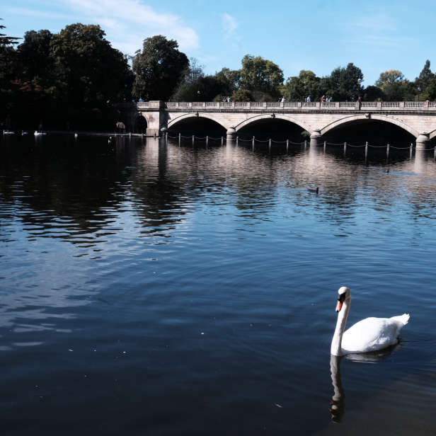 Water with a swan in the foreground and a white bridge in the background