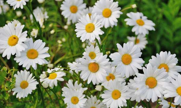 Daisies growing outside