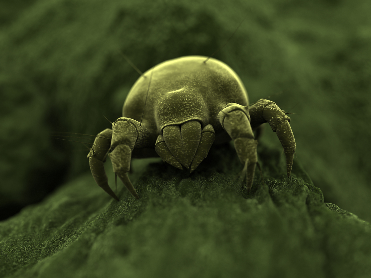 Close-up of mite insect