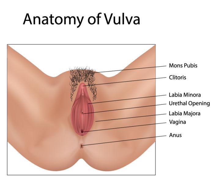 Vulva anatomy image