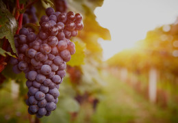 The Red Grapes of Fine Wine