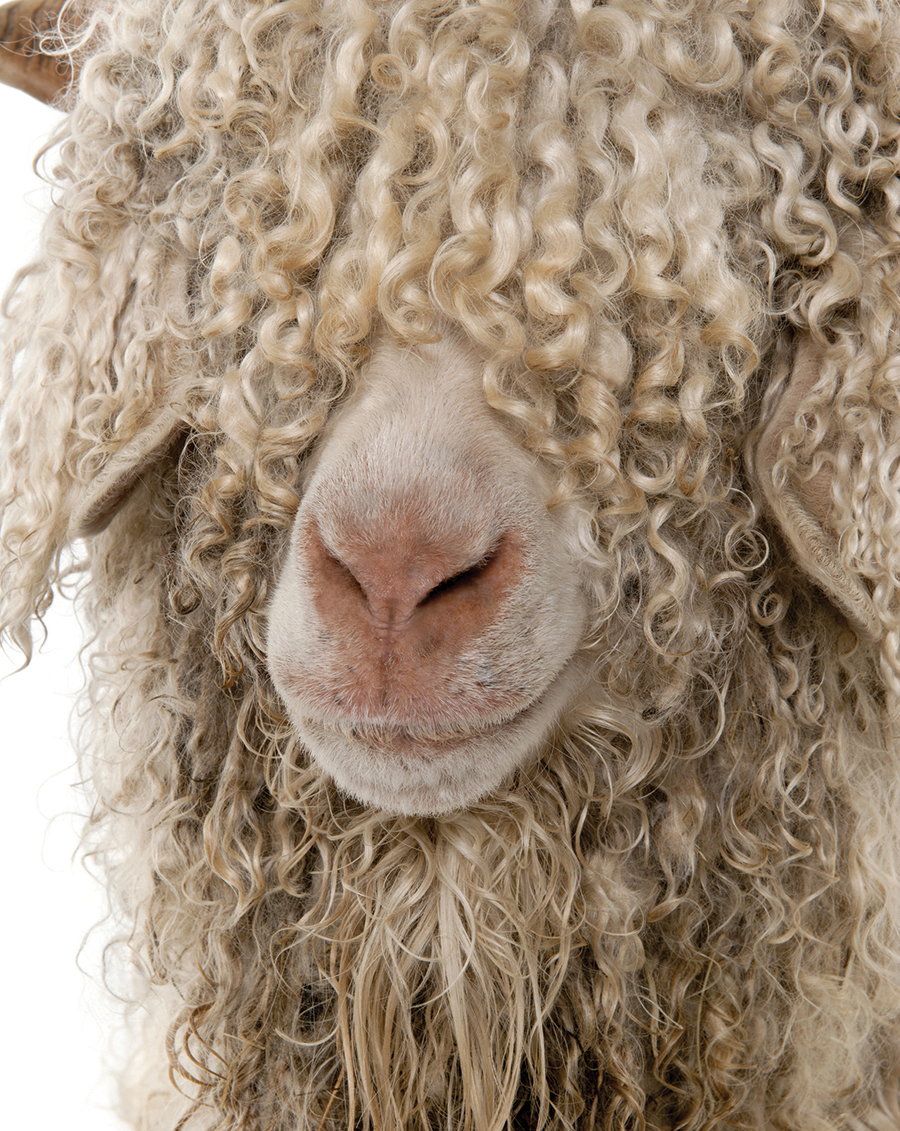 bigstock-Close-up-of-Angora-goat-in-fro-13876802 Re-sized