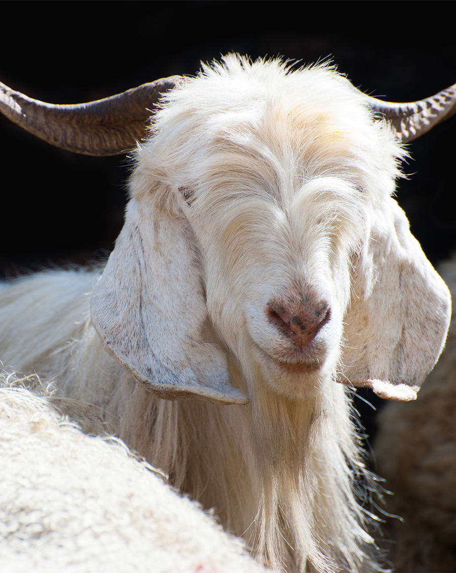bigstock-White-kashmir-goat-from-Indian-52781563 Re-sized