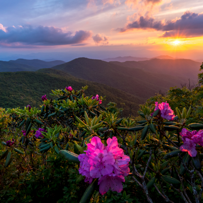 The sun rises over the Blue Ridge Parkway onto a patch of azaleas.