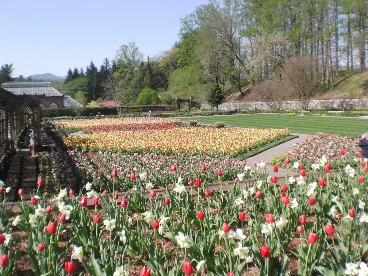 Tulips in the garden at Biltmore Estate.
