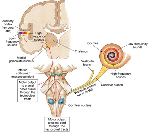 How we hear diagram
