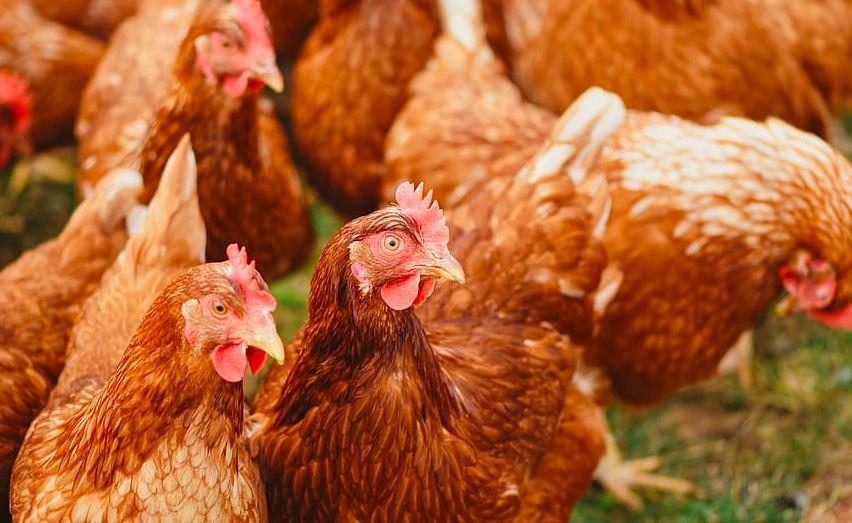 Ptasia grypa - zakaz