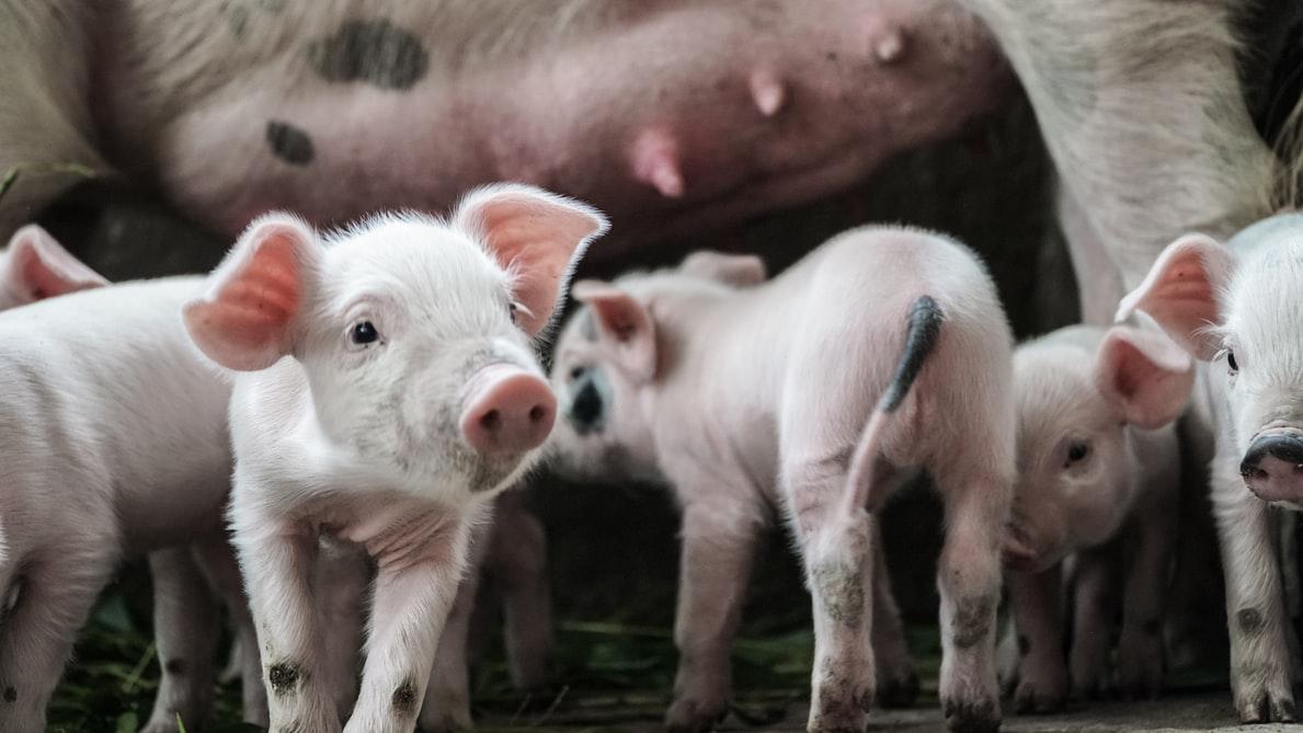 ferma świń