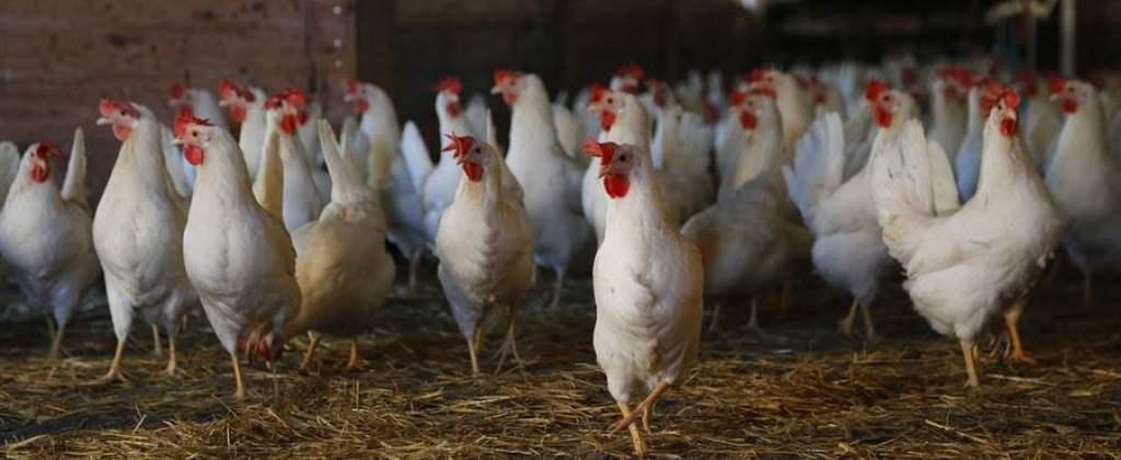 Ptasia grypa - obszary wysokiego ryzyka