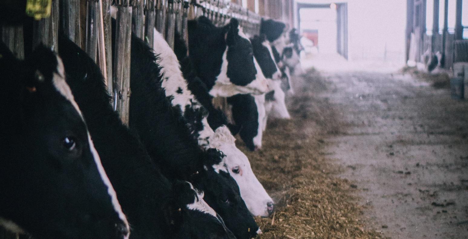 krowy Niemcy