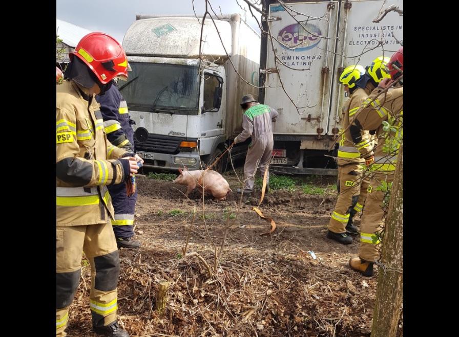świnia straż pożarna