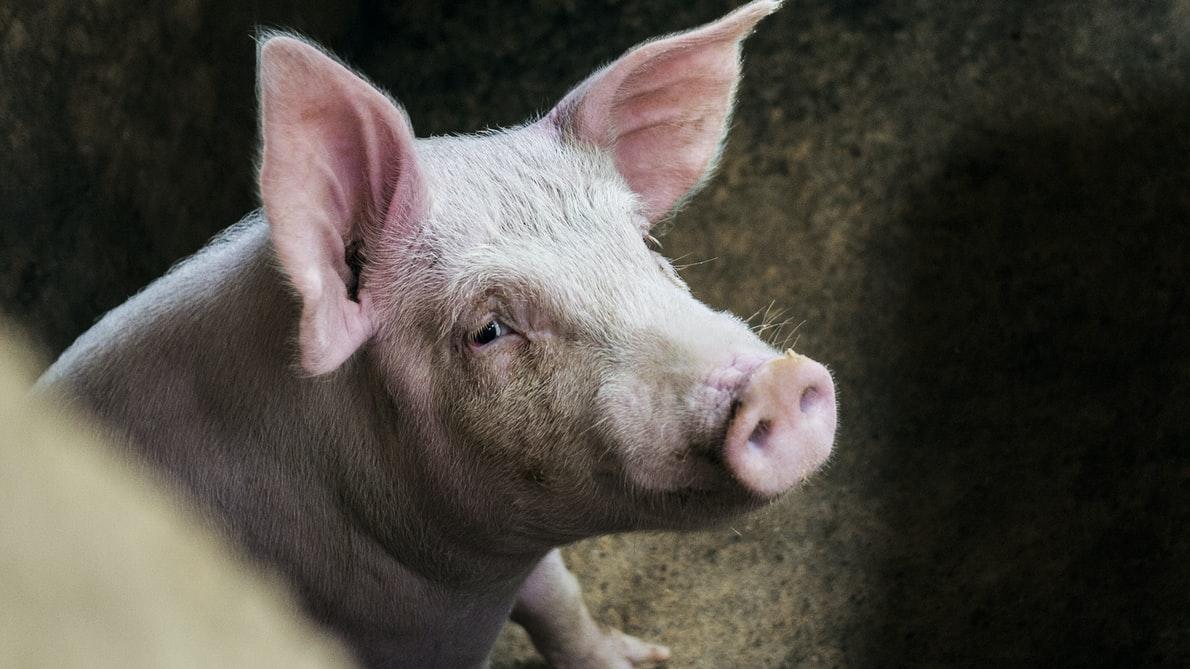 świnia trzoda chlewna
