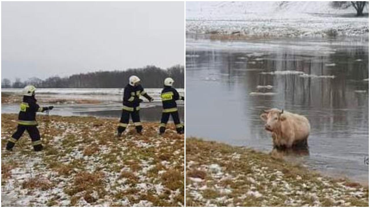 Krowa - interwencja