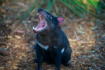 Sarcophilus harrisii tasmanian devil 2 photo m.newton courtesy tasmanian land conservancy