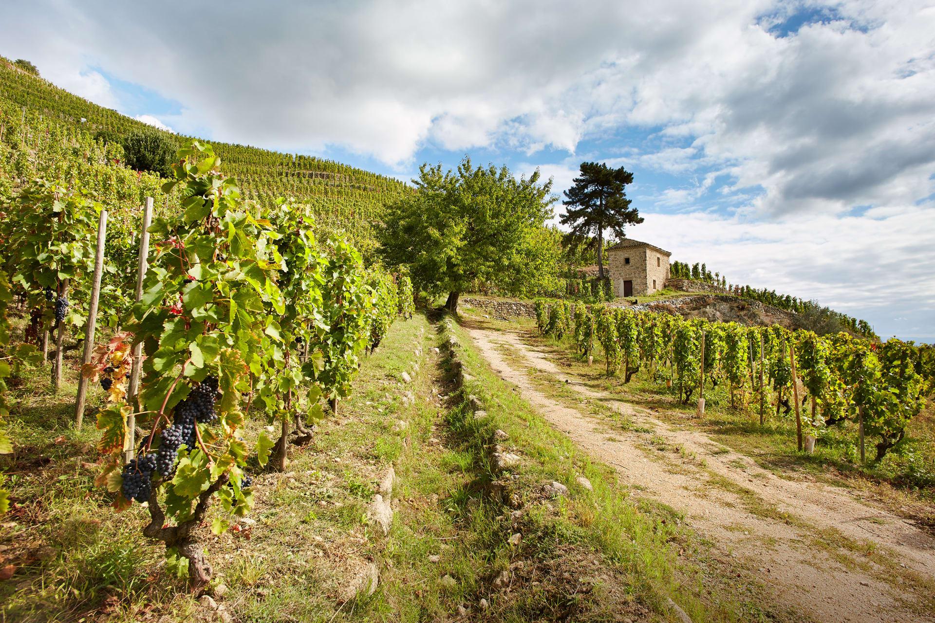 Syrah Fall Wine - Saint, Joseph France
