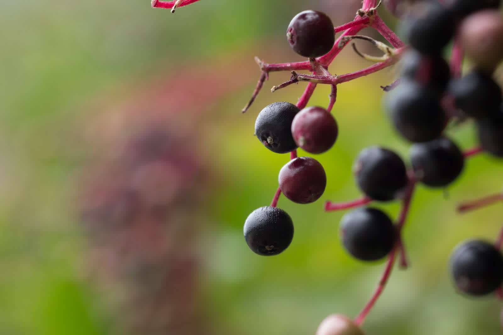 1853467-elderberry.jpg.rendition.1600.1600