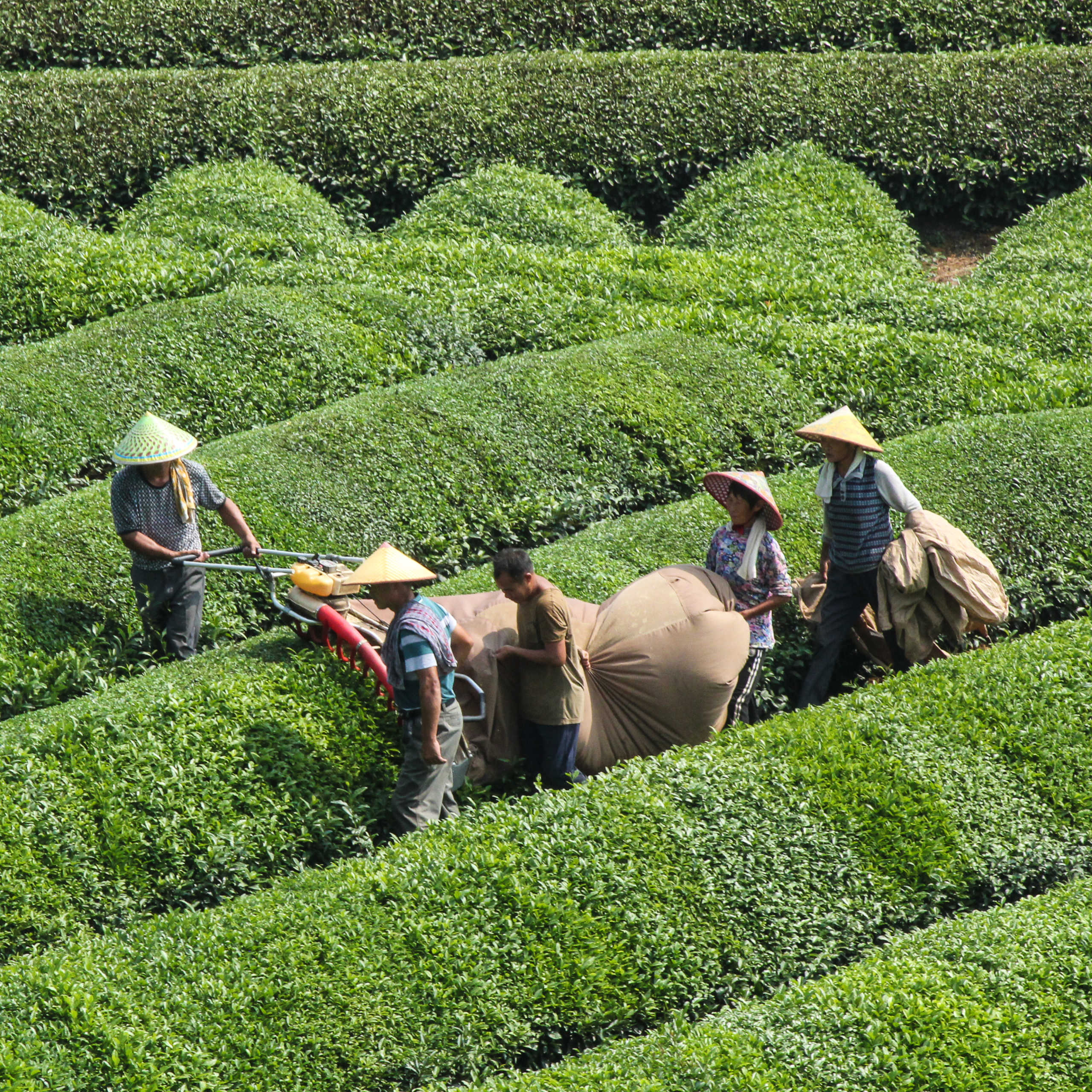 Certifications - tea harvest