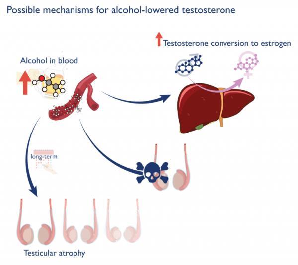 アルコールは肝臓でテストステロンからエストロゲンに変換する率を高める