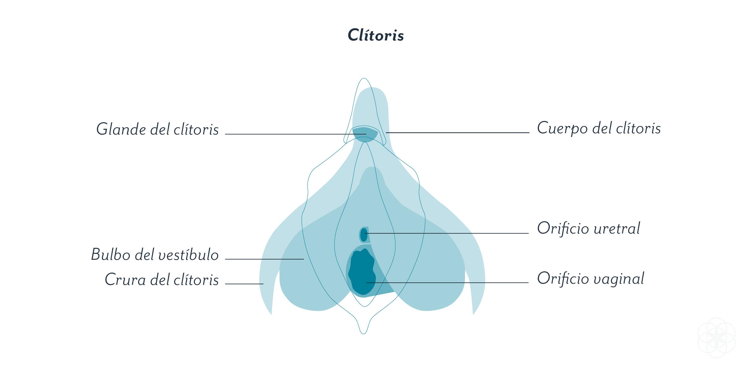 Qué es (y donde está) el clítoris?