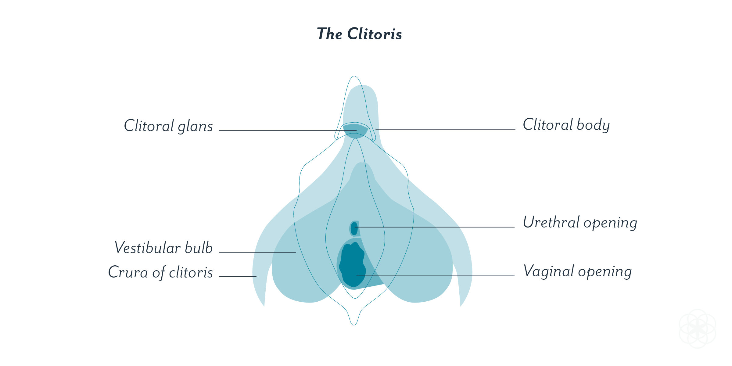 The Clitoris Female Pleasure And Anatomy